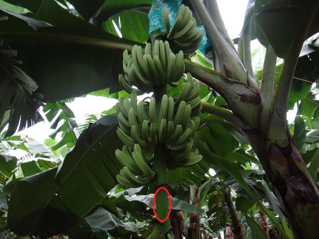 A banana rachis is circled in this photo