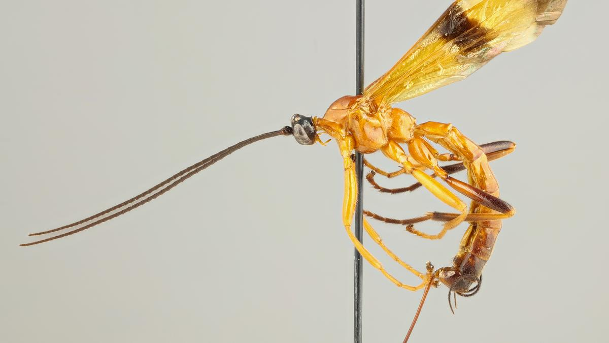 "15 new species of parasitic wasp discovered that ""zombify"" spiders"