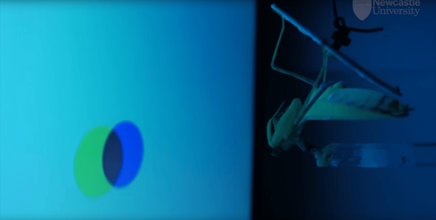 The researchers put the praying mantises into little 3D cinemas, and played them movies of prey moving around
