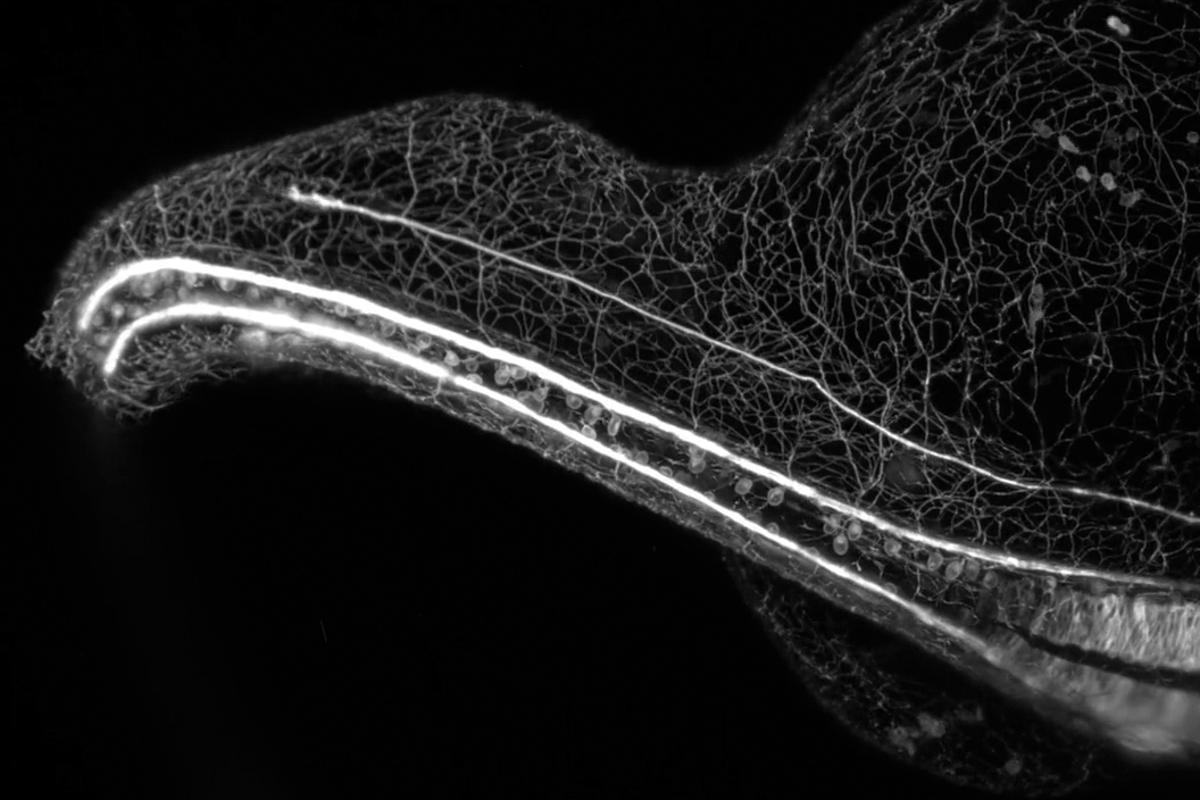 The winning video showingthe sensory nervous system of a zebrafish embryo growing over a 16-hour time lapse