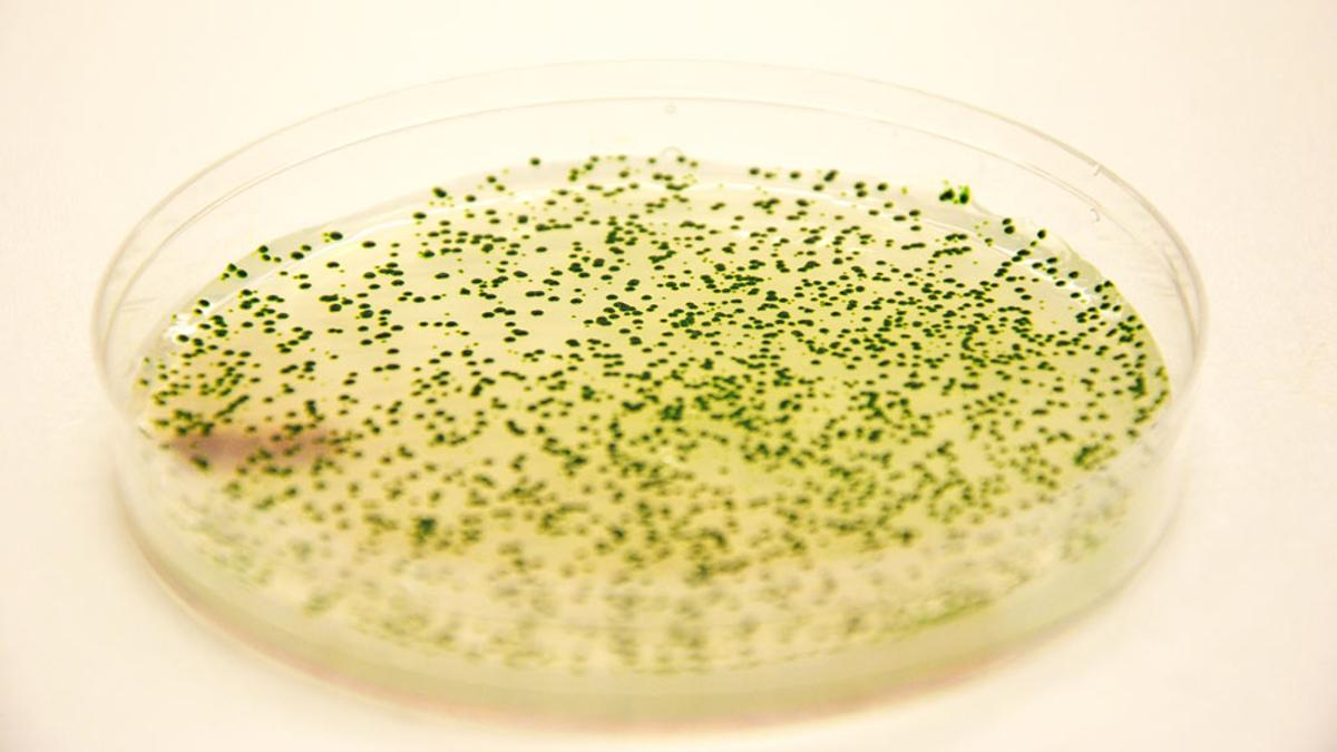 Genetically engineered strains of the cyanobacterium Synechococcus elongatus in a Petri dish