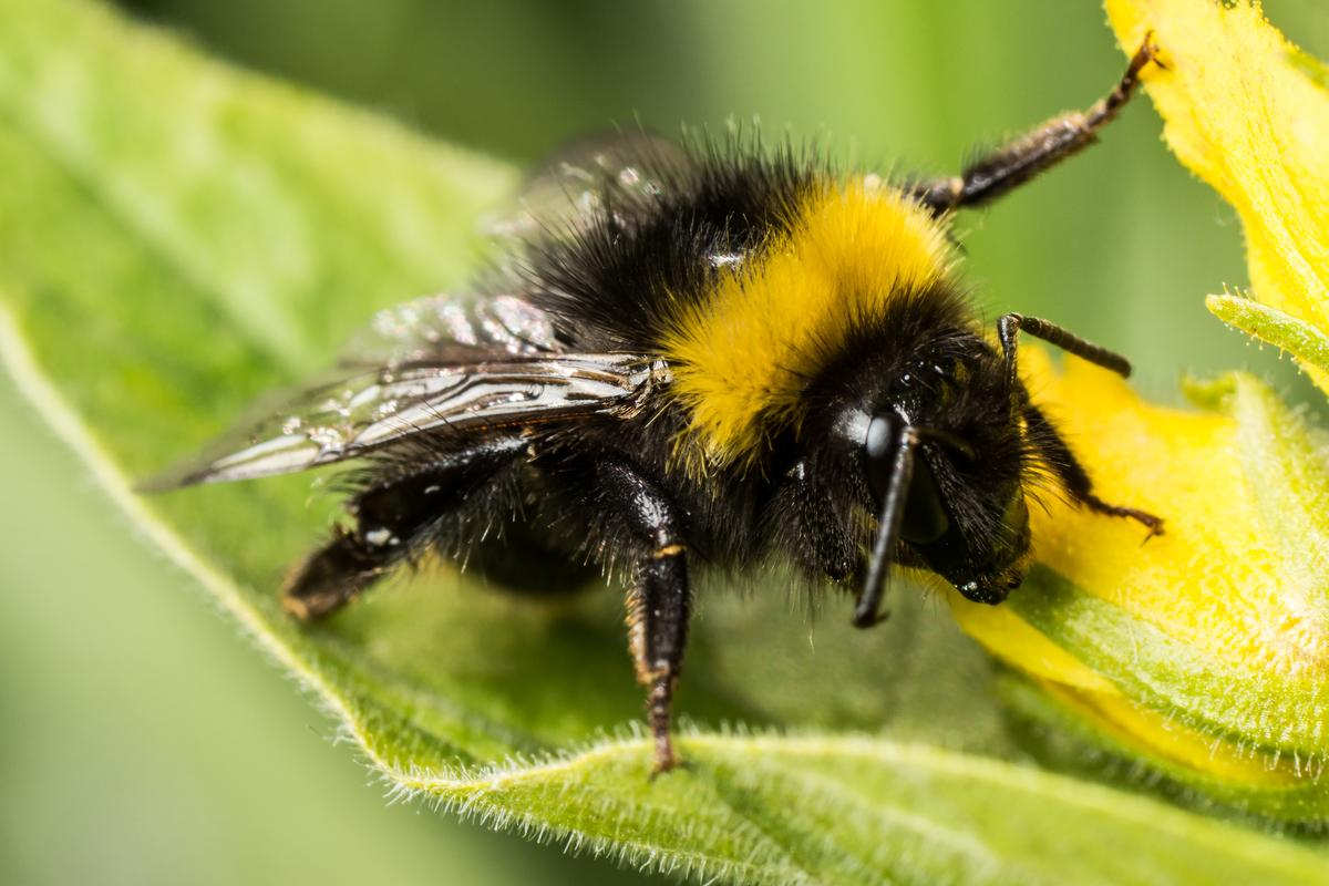 "Scientists studying the in-flight behaviors of bumblebees have found that they can enter a form of ""economy mode"" when carrying heavy loads"