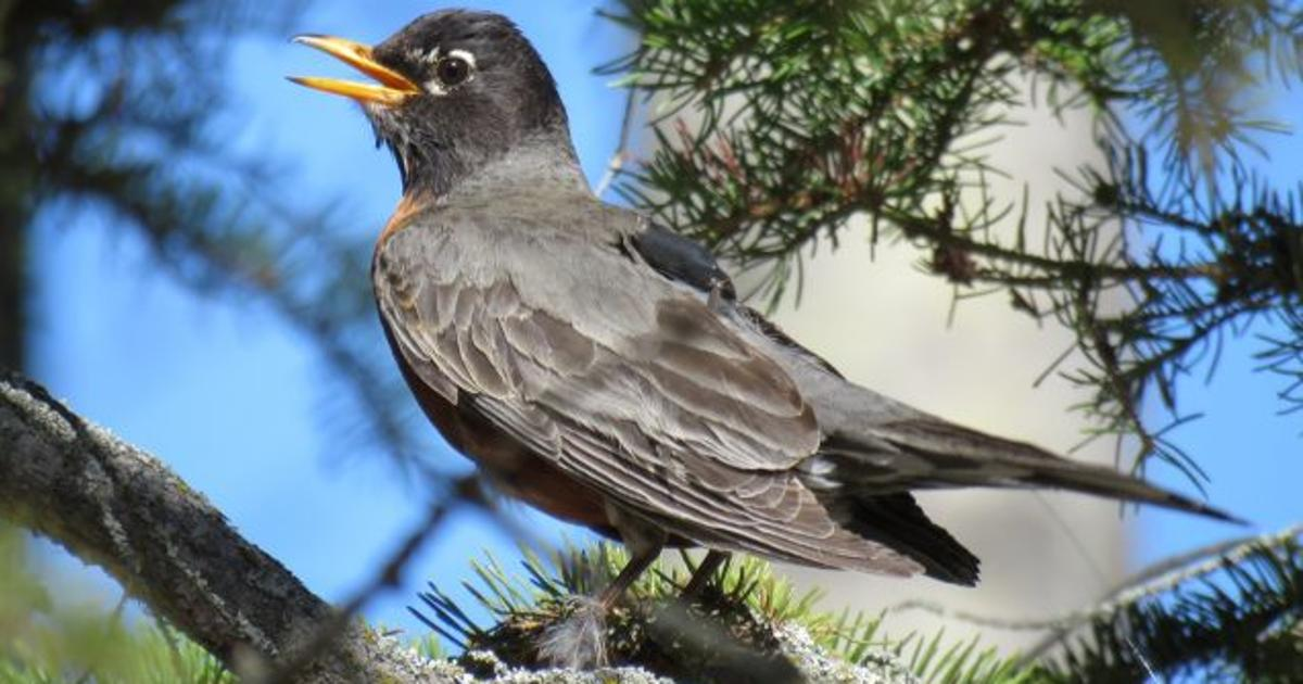 American robins head north sooner due to Arctic snow melting earlier
