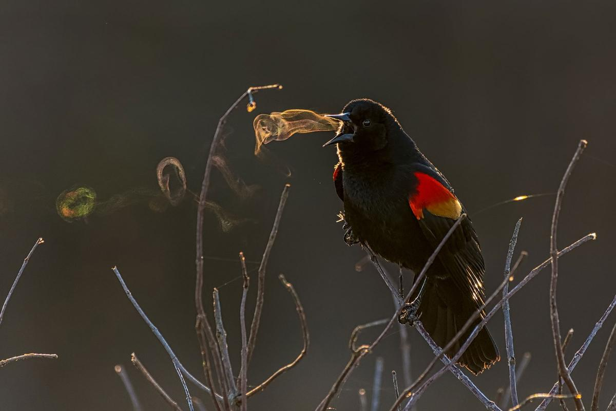 This year'sGrand Prize-winning image entitledRed-winged Blackbird, shows the smoke-ring effect of the songbird singing on a crisp country morning