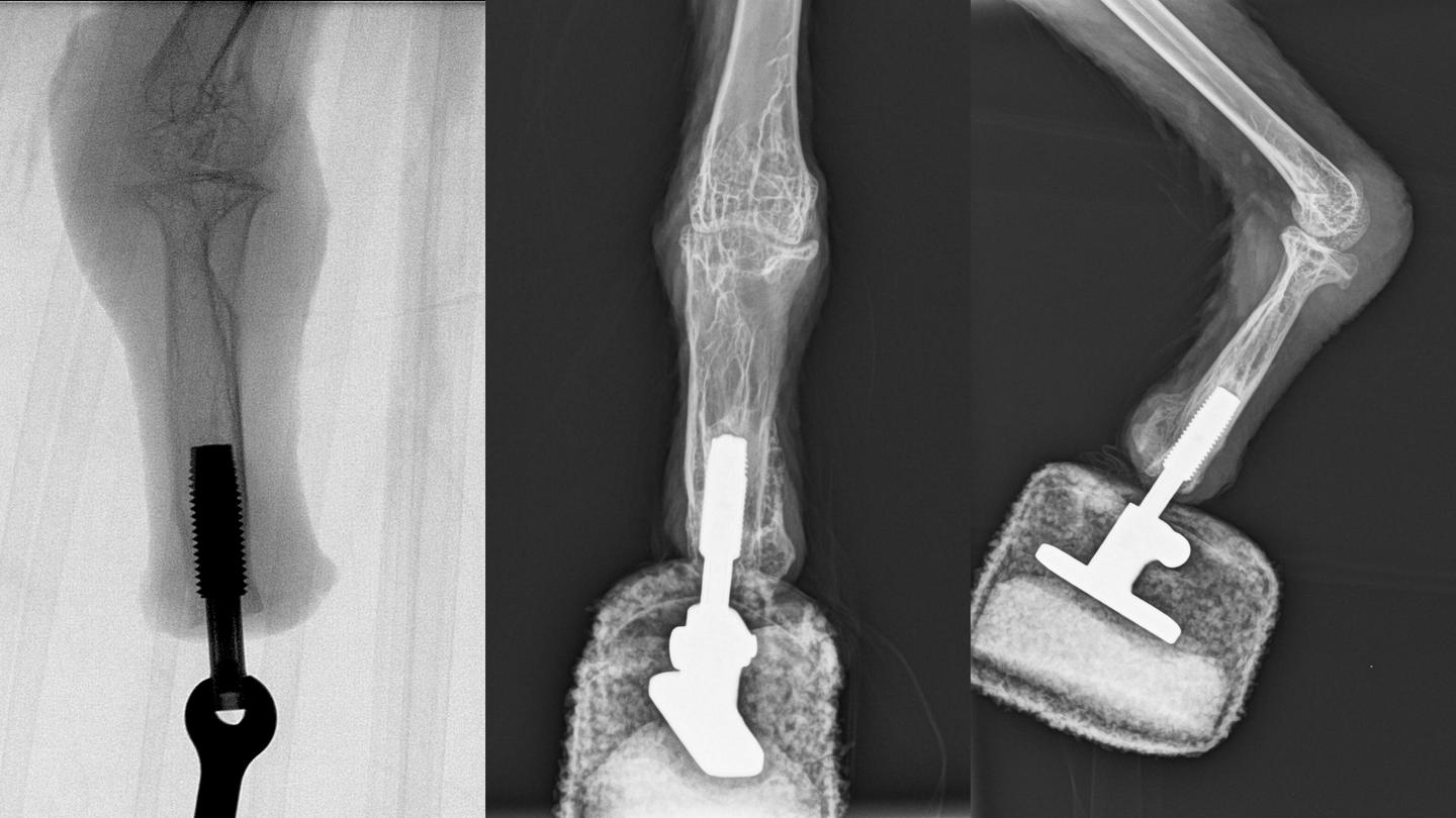 X-rays of Mia's leg with its prosthetic foot