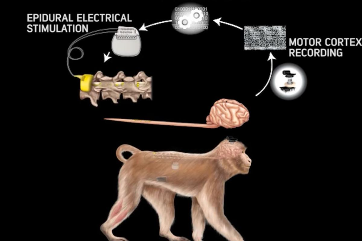 Researchers have developed a system that wirelessly connects the brain with the lower spine, bypassing spinal cord injuries to restore natural walking movement in monkeys