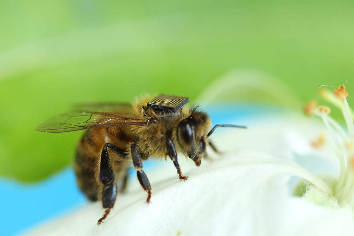 Approximately 5,000 bees are receiving RFID tags like this one