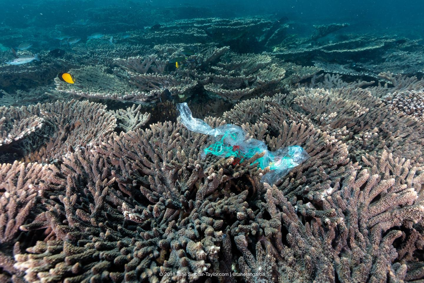 Potentially bacteria-spreading plastic waste on a coral reef