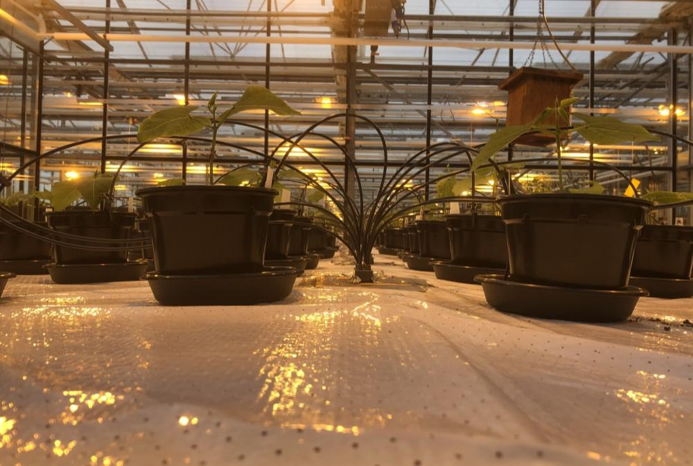 On days without sufficient daylight, grow lamps were switched on