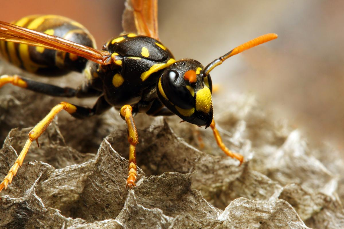 A new antibiotic candidate has been discovered in the venom of the Korean yellow-jacket wasp