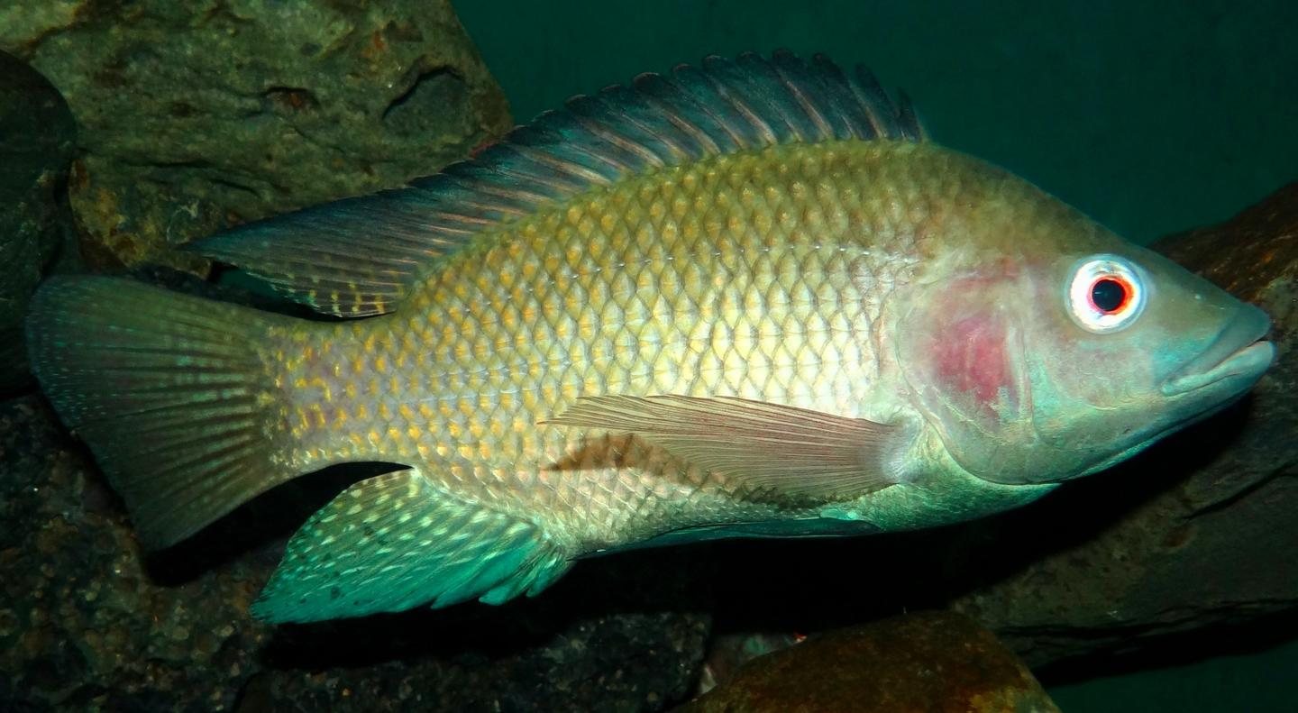 Nile tilapia grow larger when fed microalgae in place of the usual fish oil