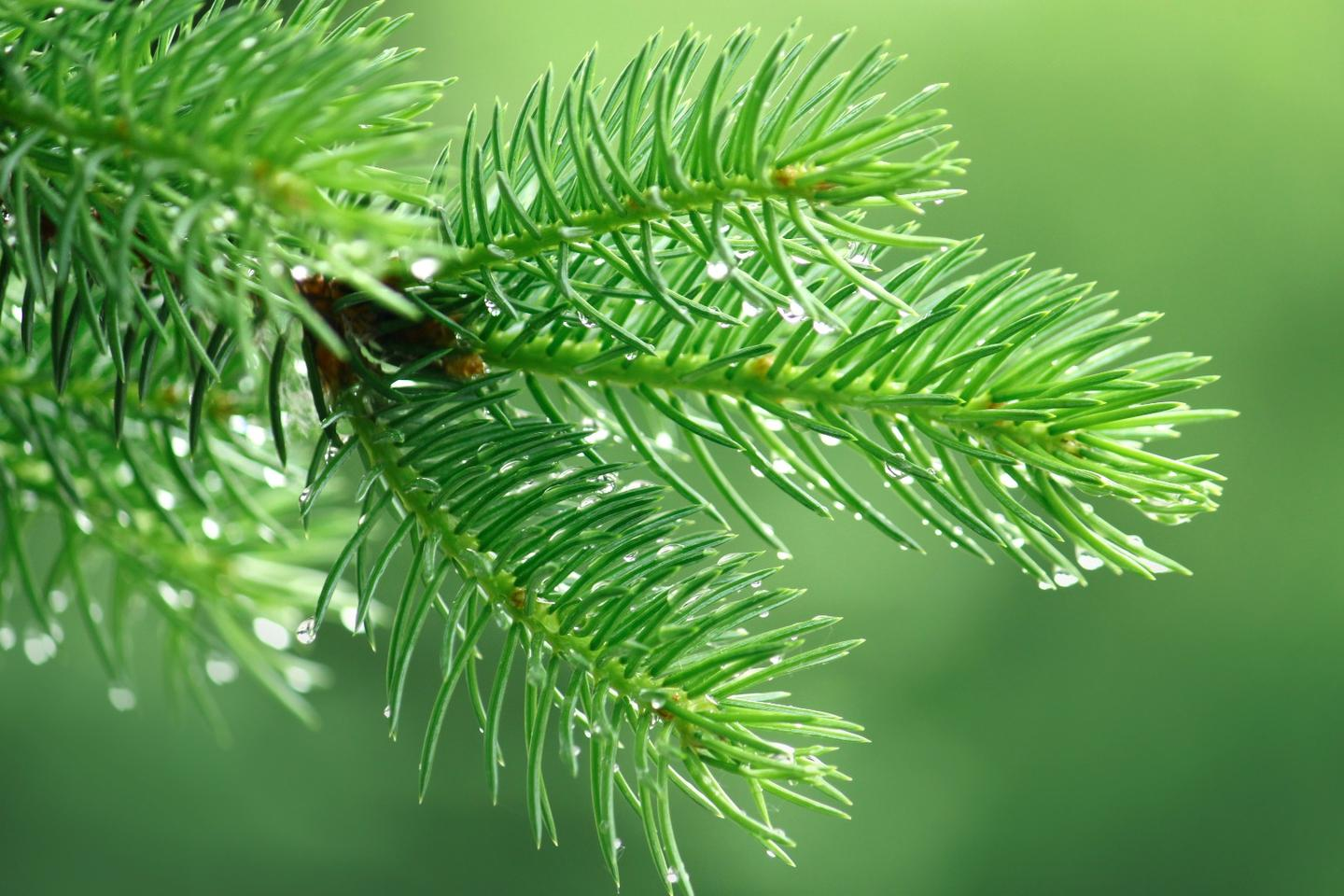 Scientists have produced a renewable plastic made with pinene, which is found in pine needles