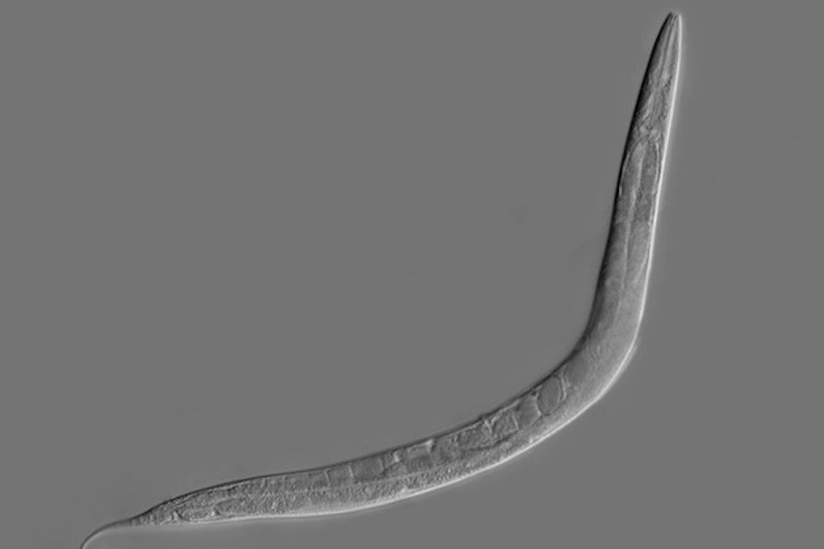 C. elegans is aworm whose simple brain has been digitized as a basic neural network, and now that system has been taught a new trick