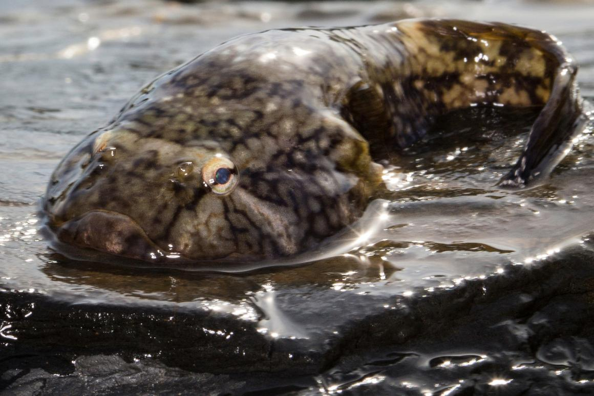 The Northern clingfish sucks, but in a good way (Photo: Petra Ditsche, UW)
