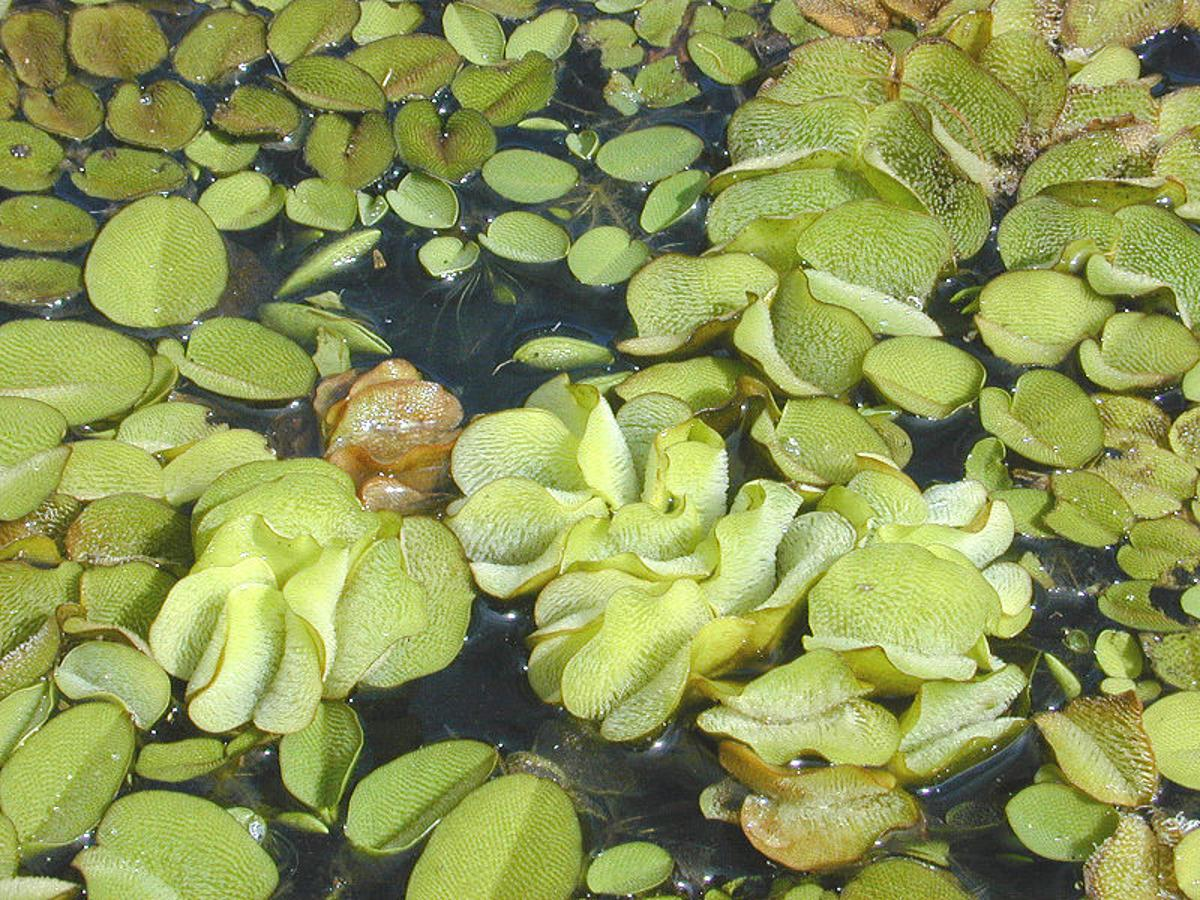 A plastic material inspired by the leaves of the aquatic weed Salvinia molesta may lead to a coating that makes ships more buoyant and hydrodynamic (Photo: Eric Guinther)