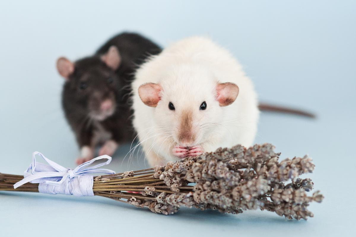 Rats will share food with their hungry counterparts, perhaps due to olfactory cues