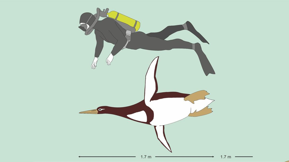 The ancient giantKumimanu biceaewould have been the size ofa human diver
