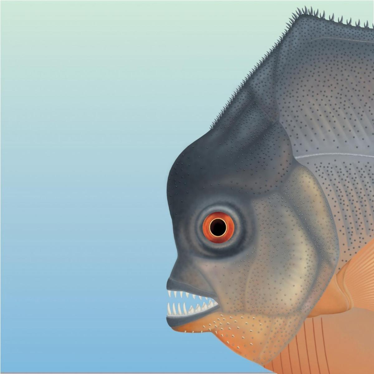 Although it evolved along similar lines asthe piranha, Piranhamesodon pinnatomus is not thought to have beenrelated to the present-day fish