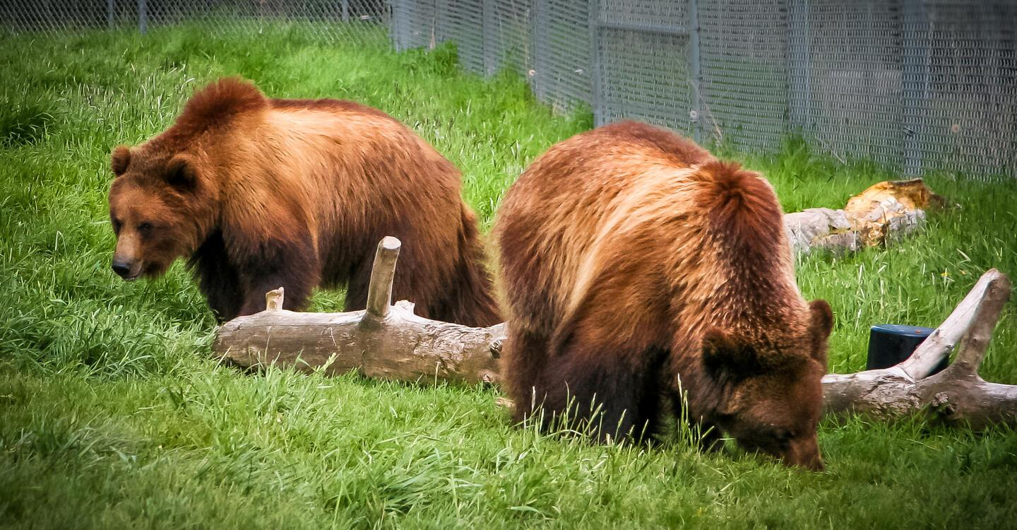 The genetics of grizzly bears may provide the key to preventing muscle atrophy