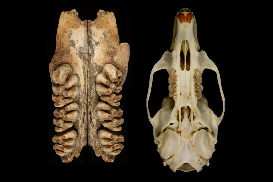 The upper toothrows of the giant rat compared to the skull of a common rat (Image: Ken Aplin, CSIRO)