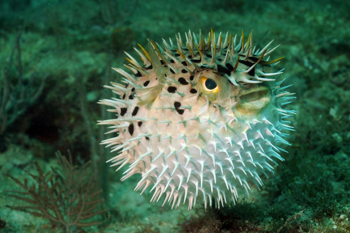 Anew slow release local anesthetic based on pufferfish toxincan potentially numb targeted areas for up to three days