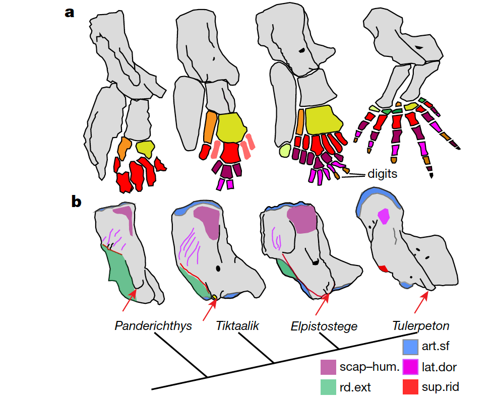Comparative anatomy of pectoral limb endoskeleton and humerus of stem-tetrapod fish and earlier