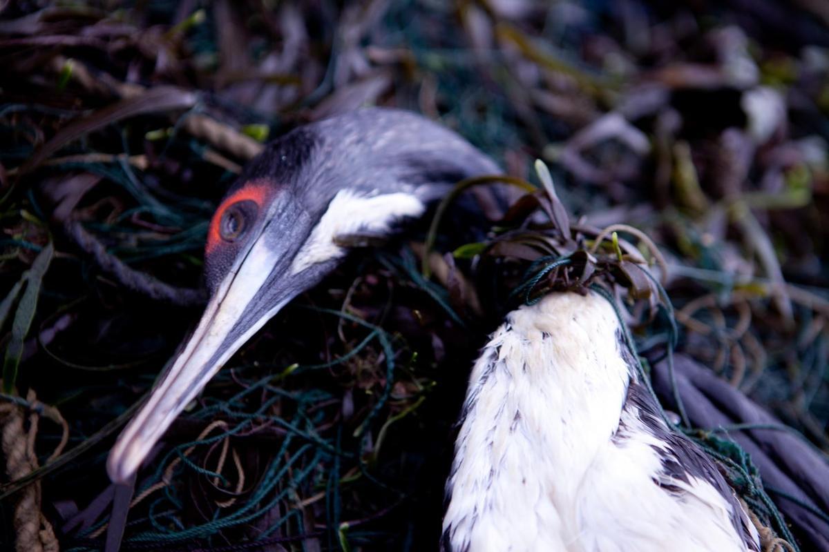 A cormorant caught in a gill net