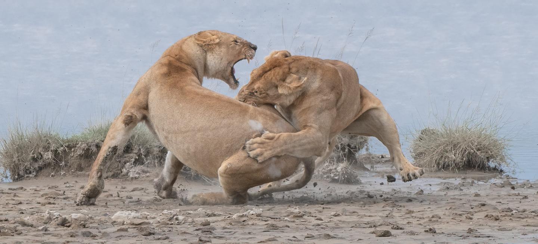 Gold - Behavior, Mammals. 'Lion Fight'. Serengeti, Tanzania