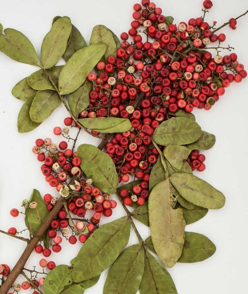 The Brazilian peppertree is abundant across Florida and flourishes in subtropical climates
