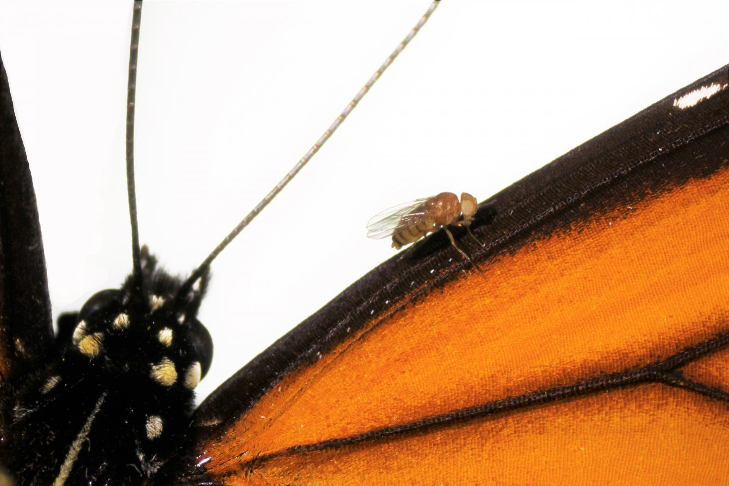 The fruit fly has been genetically engineered to have the ability to live off a poisonous plant, which the monarch butterfly can naturally do