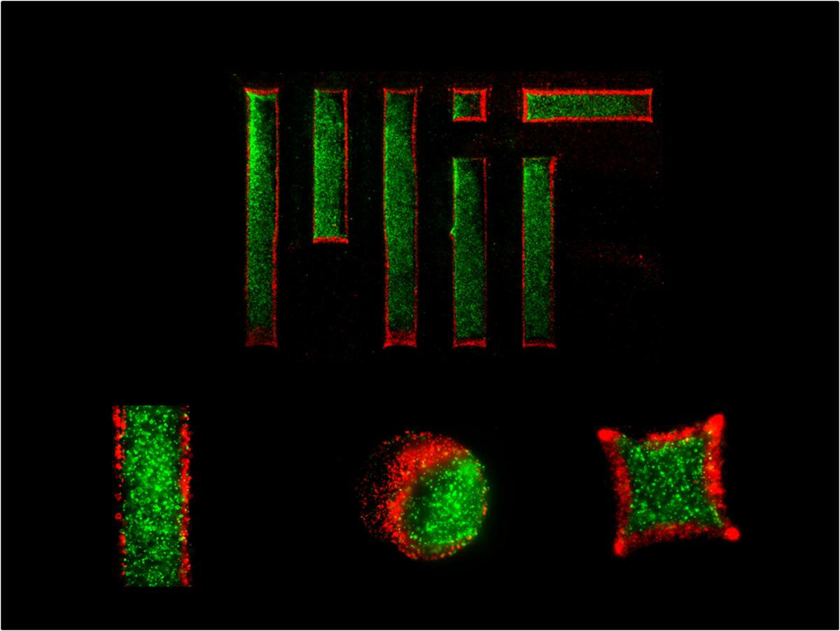 Using a temperature-responsive micromold, MIT engineers created two-layer gel microparticles (the red and green areas represent separate layers)(Photo: Halil Tekin)