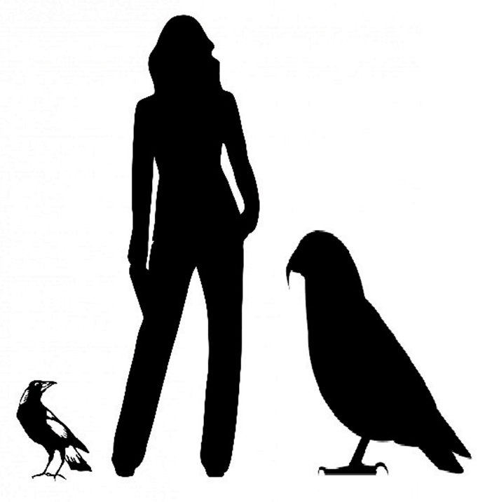 A size comparison of the giant parrot Heracles inexpectatus, next to an average human and a common magpie