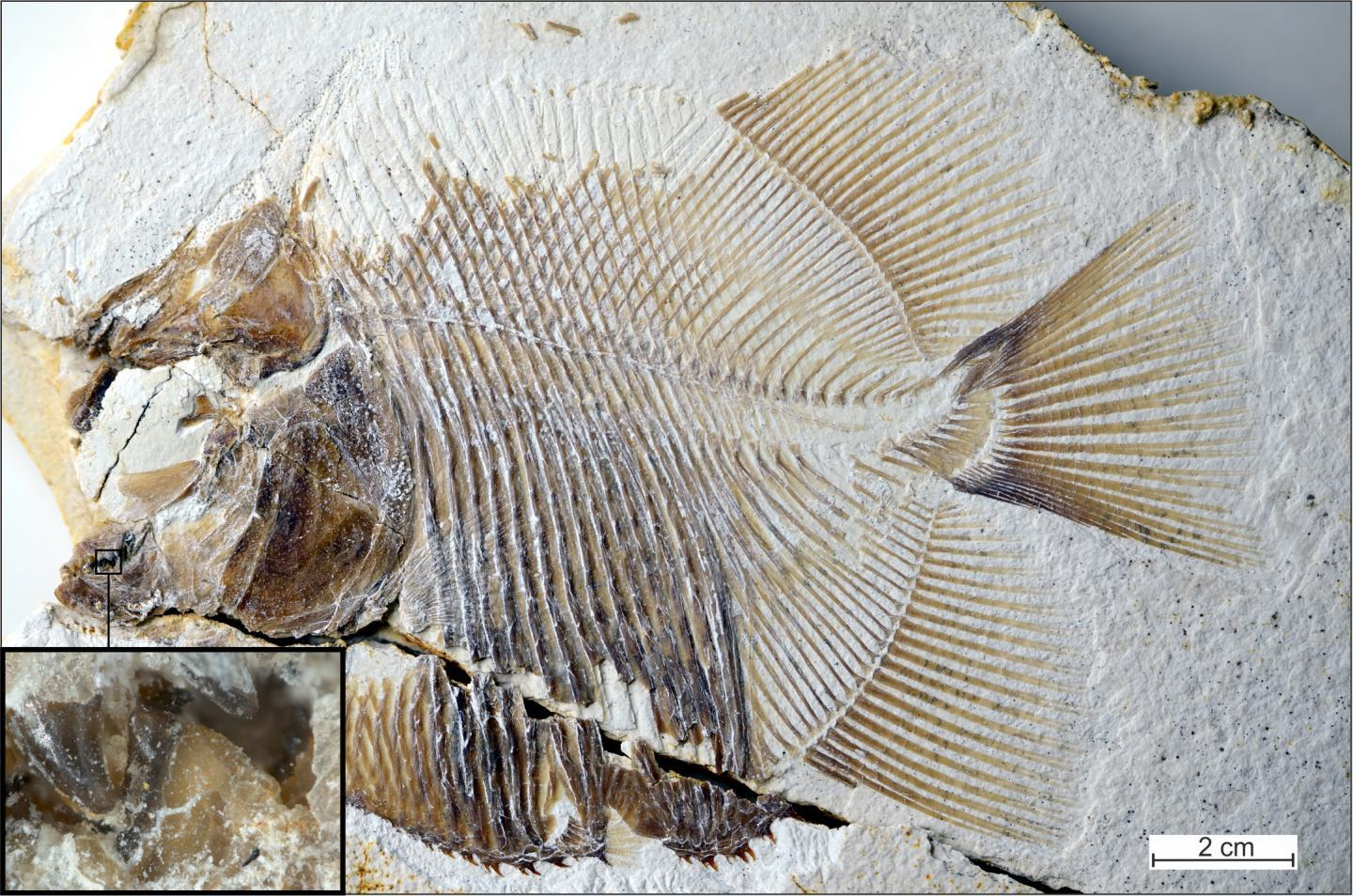 Originally discovered in limestone deposits in the Solnhofen region of southern Germany, the fossilized remains of one the fish ended up in the collection of the Jura-Museum in the German town of Eichstätt