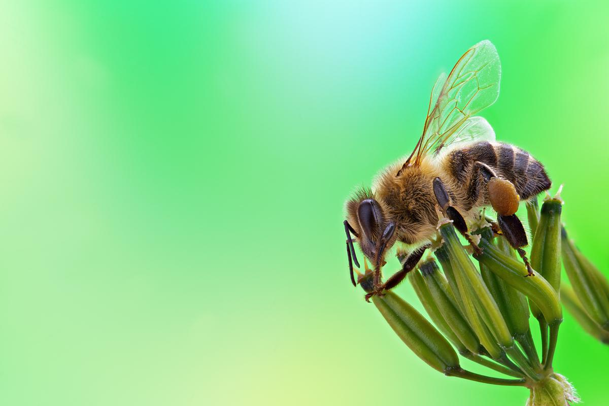A honeybee, with a pollen pellet stuck to one of its hind legs