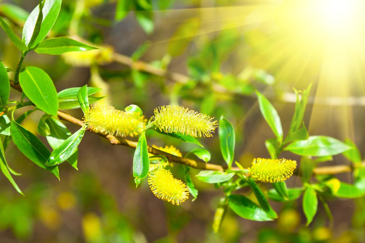 Scientists have discovered a new chemical in willow trees that has shown potential to kill a variety of cancer cells in the lab