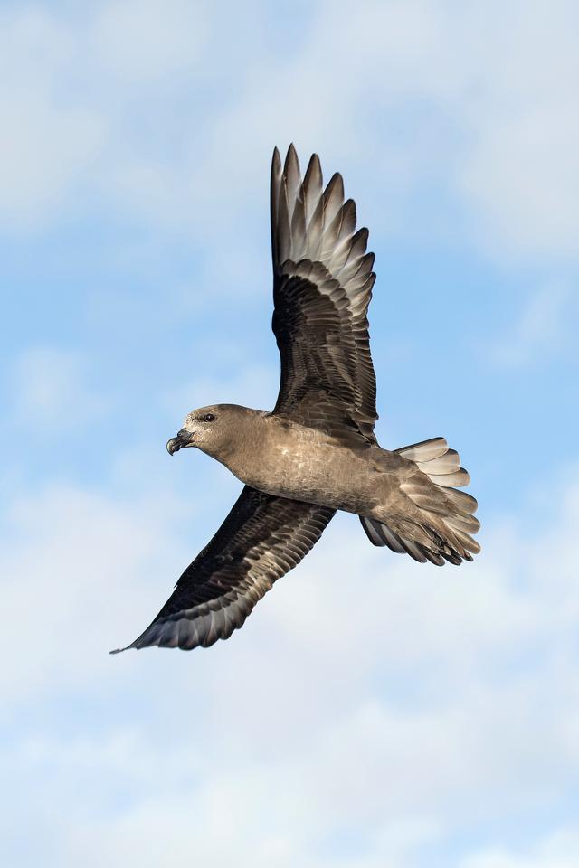 Winner, Inspirational Encounters Award. Homecoming. Providence Petrel (Pterodroma solandri). Lord Howe Island, Australia