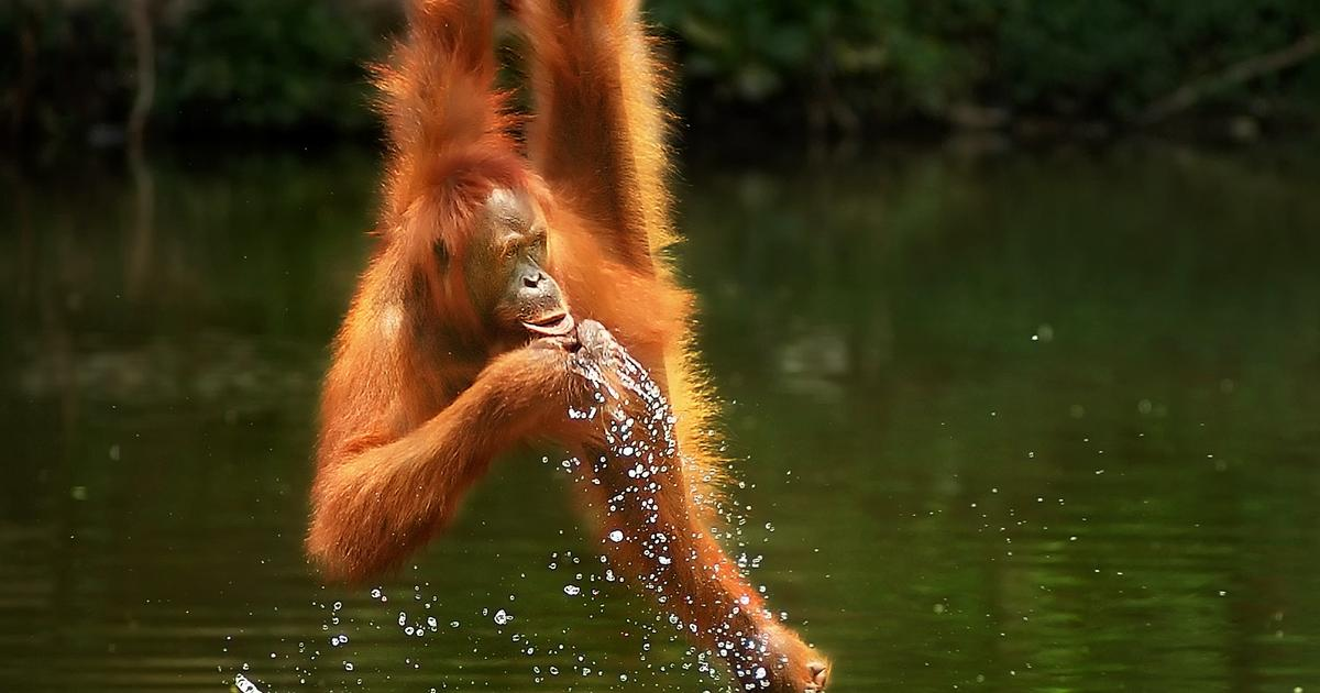 Thirsty orangutan drinks up prize in Agora's Wild 2020 photo contest