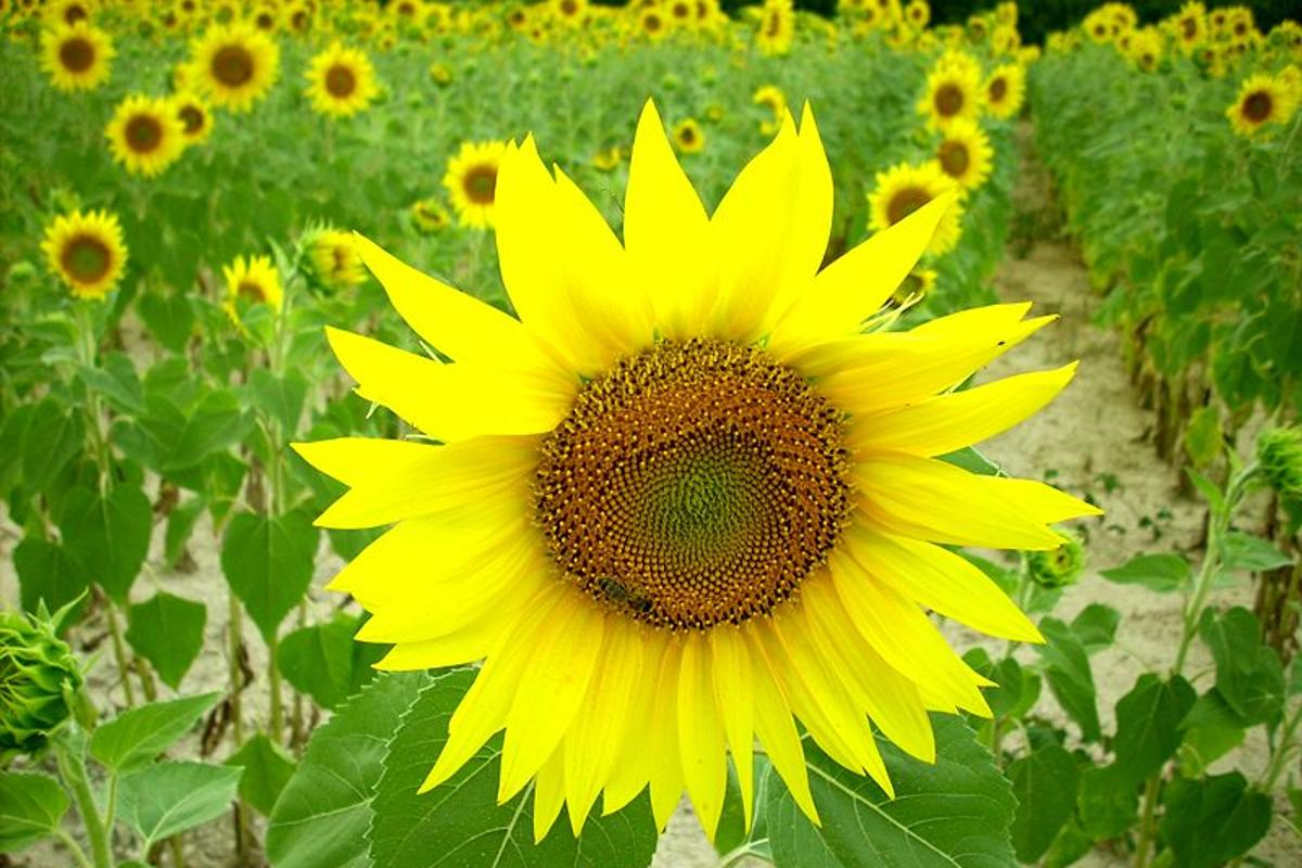 The Fermat spiral found in the spiraling pattern of florets in sunflowers has inspired a more efficient CSP plant layout