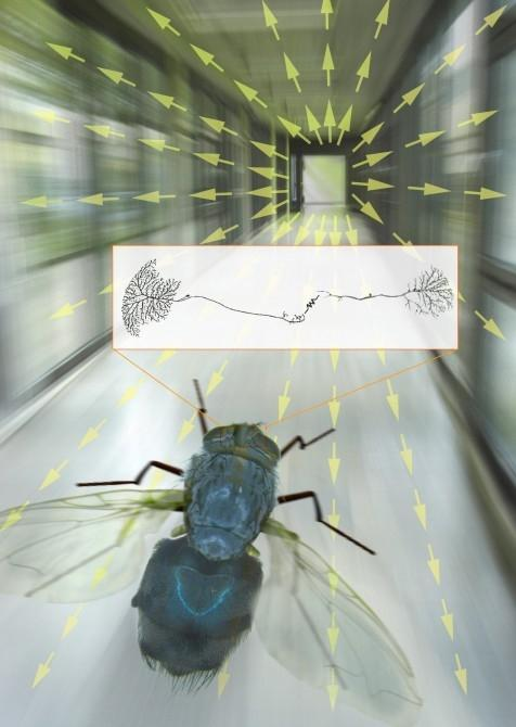 Scientists are using a fly 'flight simulator' to understand how a blowfly can process visual information so quickly(Image: MPI Neurobiology)