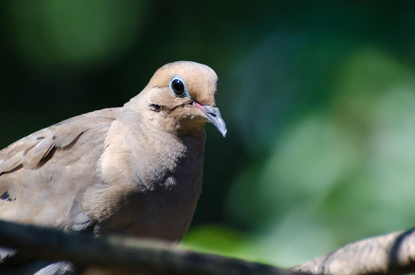 The mourning dove had its low-frequency song drowned out by the sound of the drone