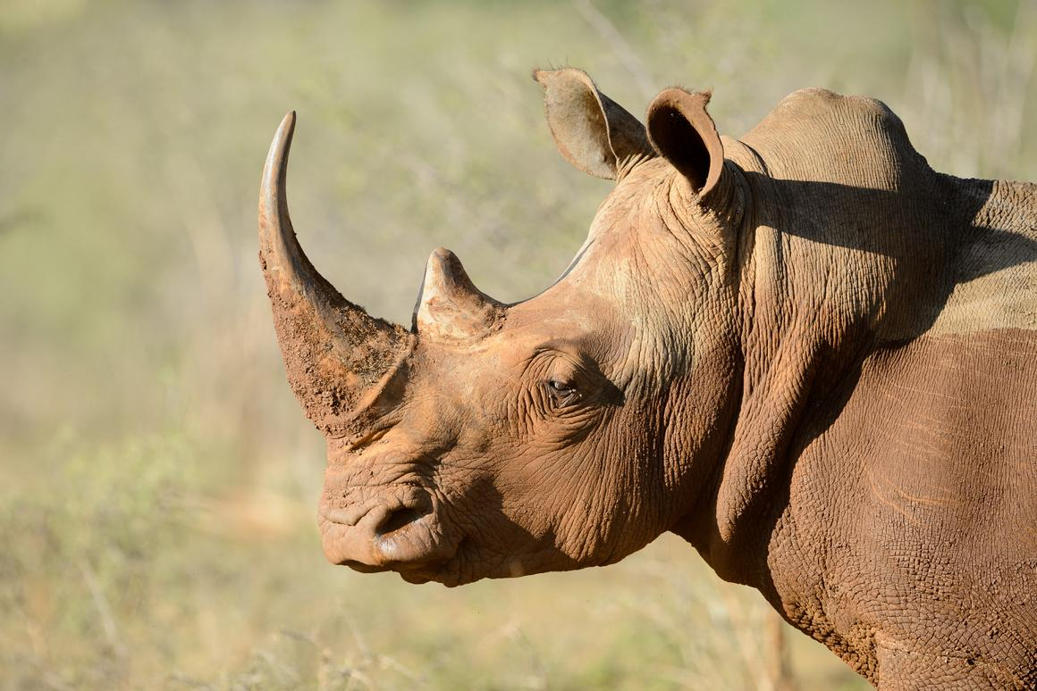 Pembient hopes that its bioengineered rhino horn could keep wild rhinos from being hunted