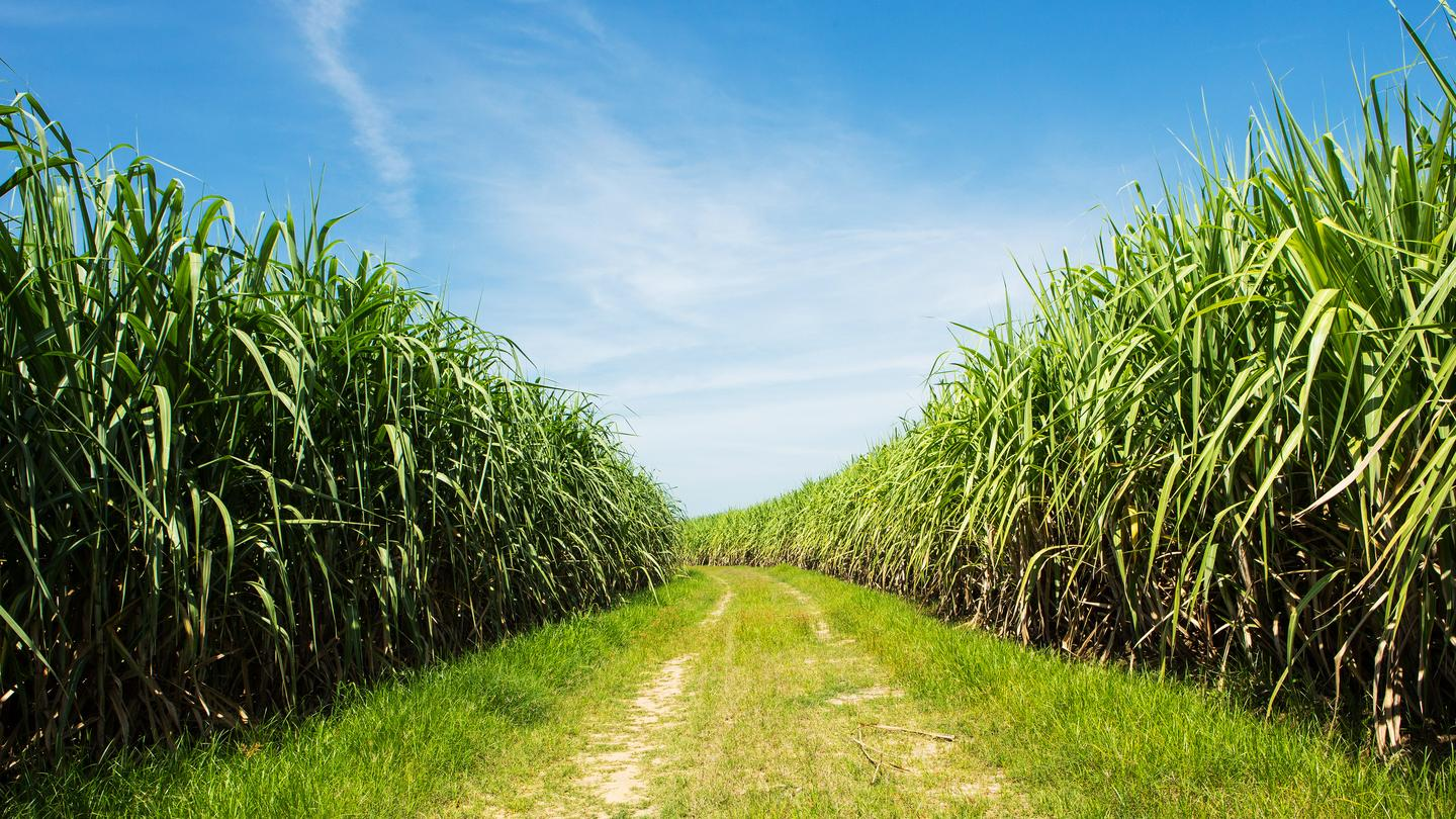 Sugarcane could soon be an even more valuable source of biofuel