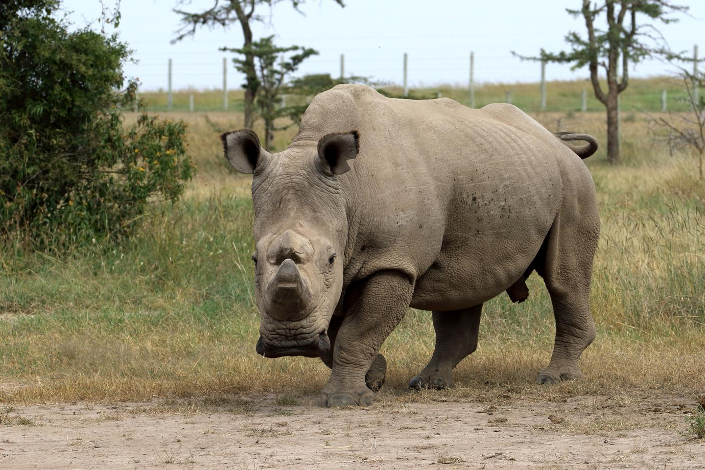 In December last year, Sudan, the last male northern white rhino, developed age-related wounds, infections and degenerative changes to his muscles and bones