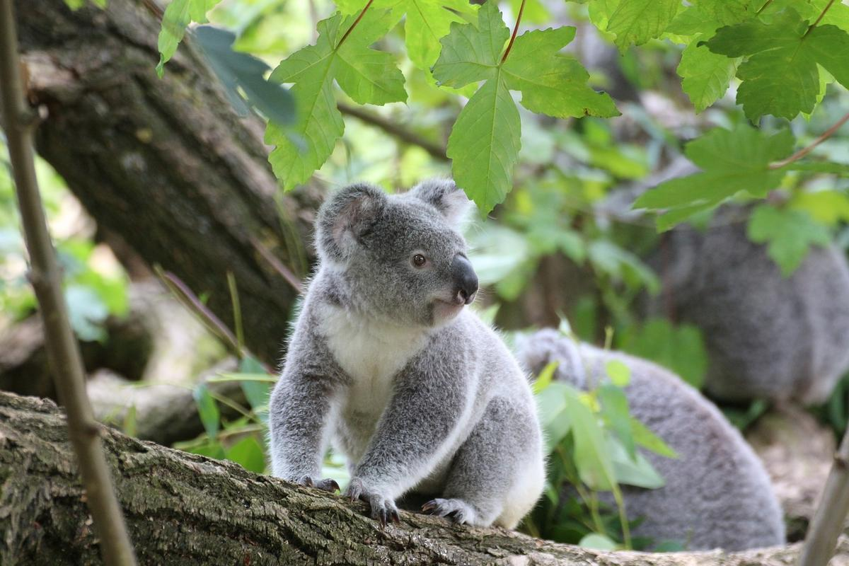 Fecal transplants are helping expand koala microbiomes, allowing the marsupials to eat a wider range of eucalypts and possibly survive habitat loss