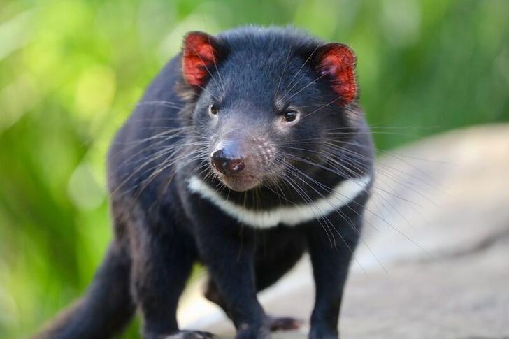 Only around 25,000 Tasmanian devils remain in their natural habitat