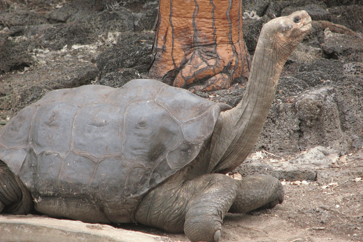 Lonesome George was the last known member of his species, the Pinta Island Tortoise (Chelonoidis abingdonii)