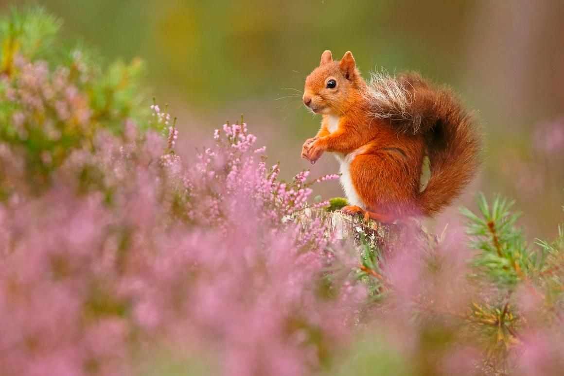 Winner of the British Seasons category, a four-image collection. Seasonal Scottish Red Squirrels, Rothiemurchus Forest, Highland