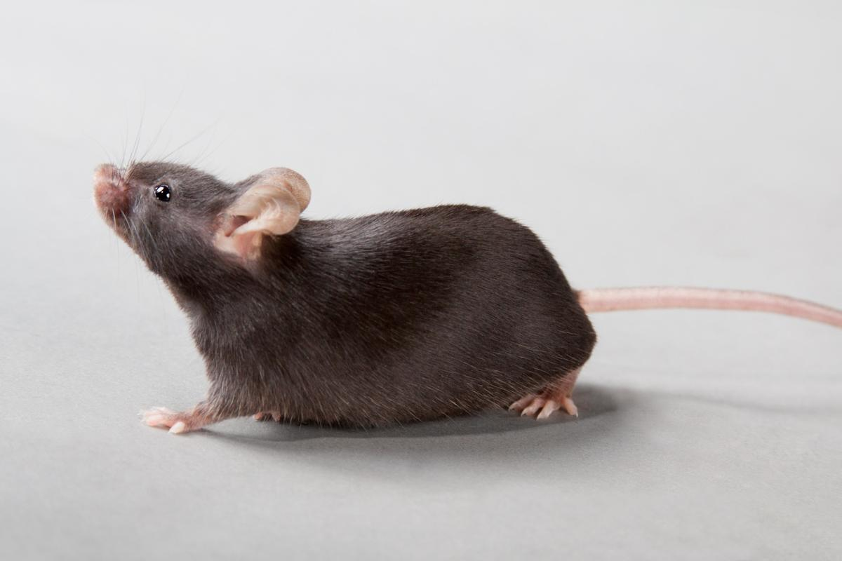 Although effective on mice, the device probably won't see use in humans for several years