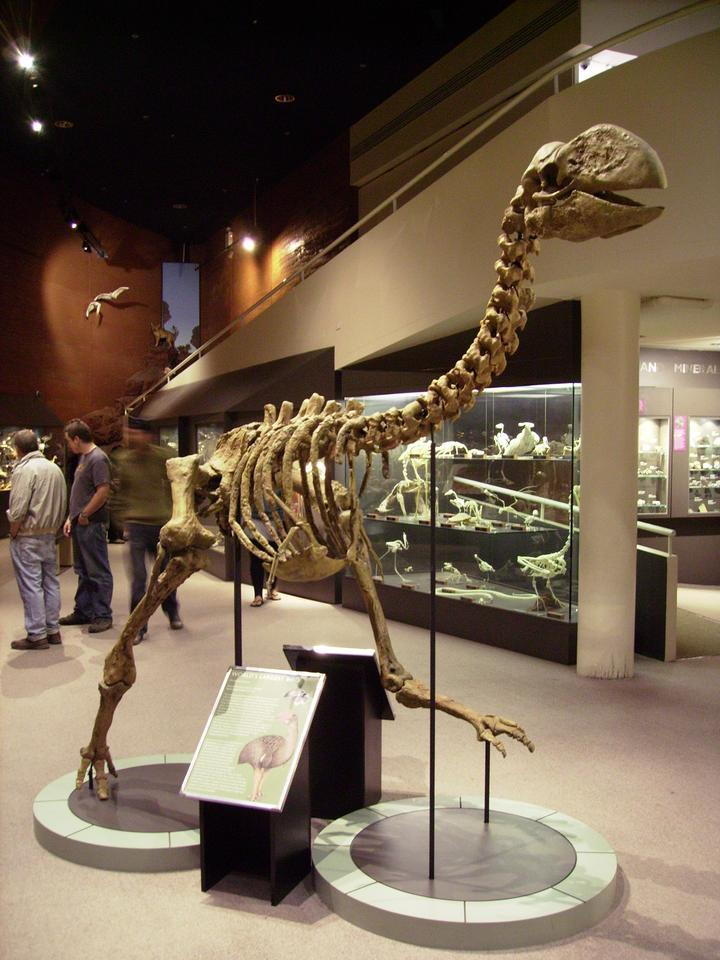 A reconstructed skeleton of Dromornis planei, on display in the Museum of the Northern Territory, Alice Springs, Australia