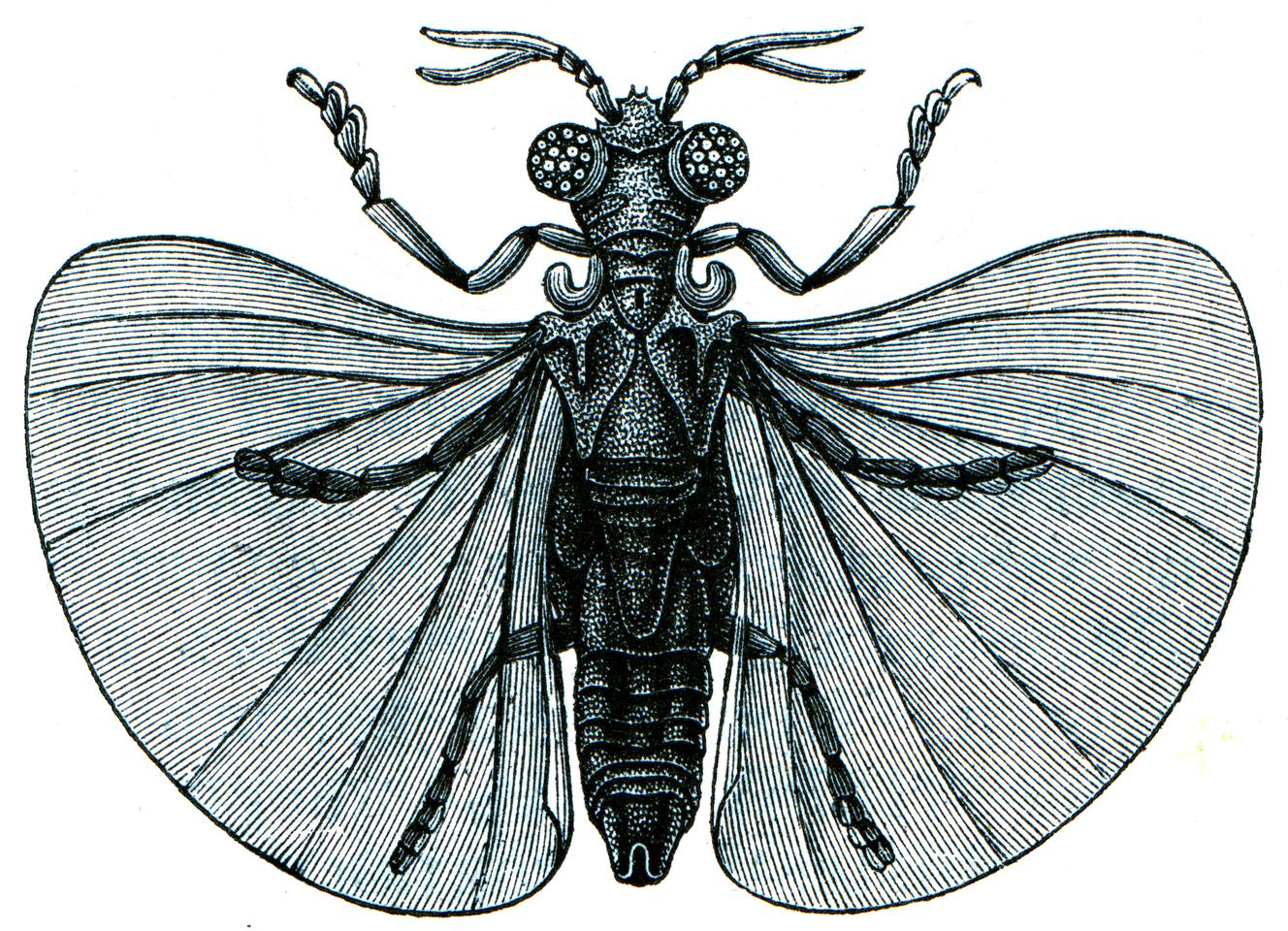 An 1896 illustration of Xenos peckii